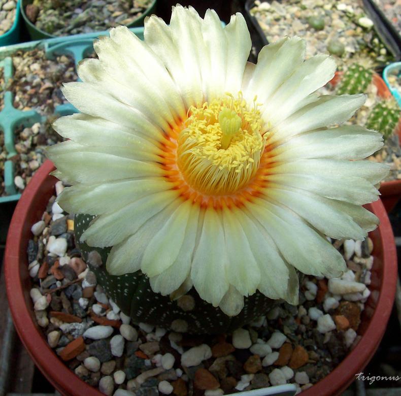 spring cacti flowers - Page 6 Astroasterias1