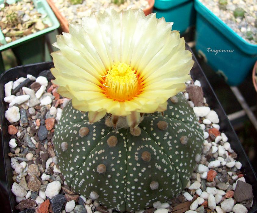 spring cacti flowers - Page 6 Astroasterias2