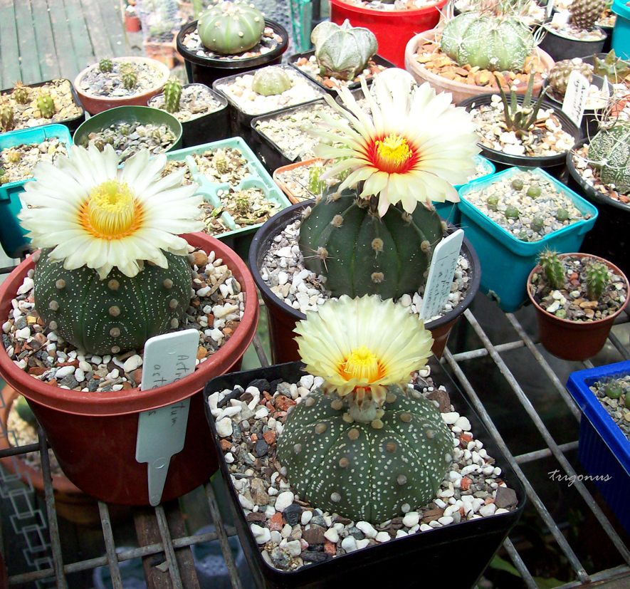 spring cacti flowers - Page 6 Astrofriends