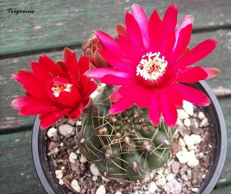 spring cacti flowers - Page 8 Gbaldianum1
