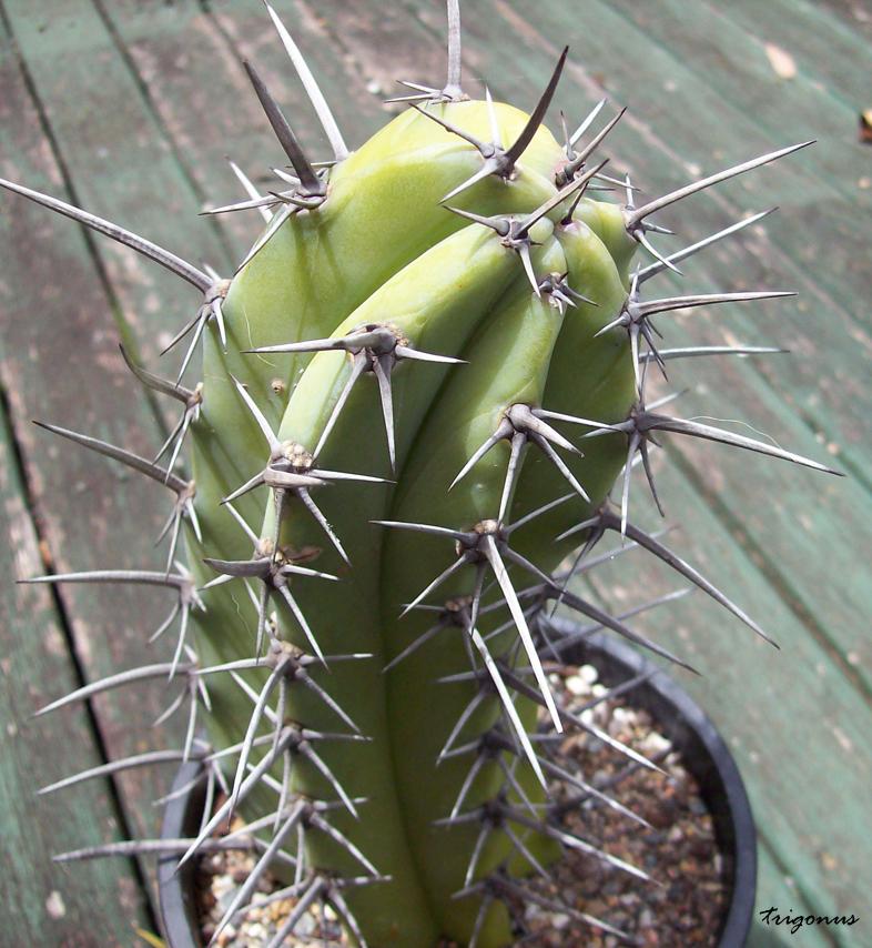 Brutal Cacti: The Thread Mcochal11