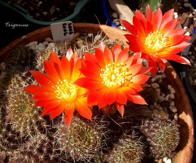spring cacti flowers - Page 8 Rebutiamagarethae