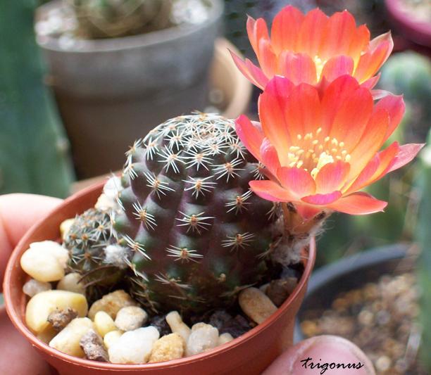 spring cacti flowers - Page 6 Rebutiapygmeahaagei1