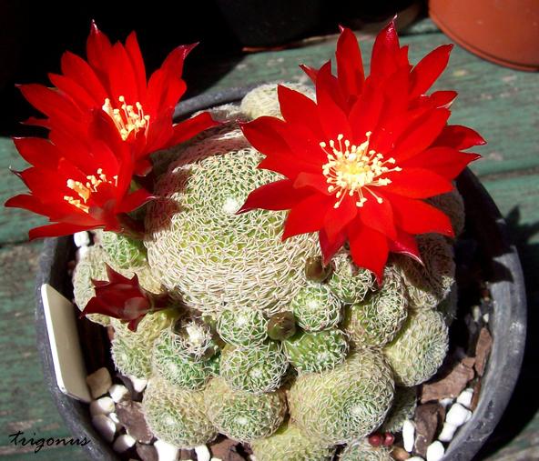 spring cacti flowers - Page 8 Rheliosavcondo