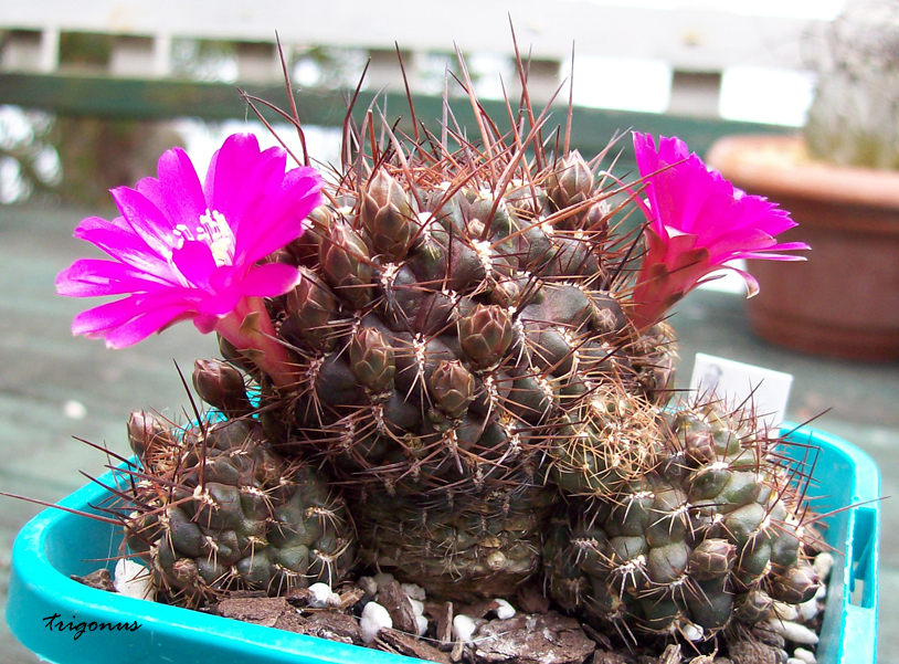 spring cacti flowers - Page 6 Sulcorebutiasp1