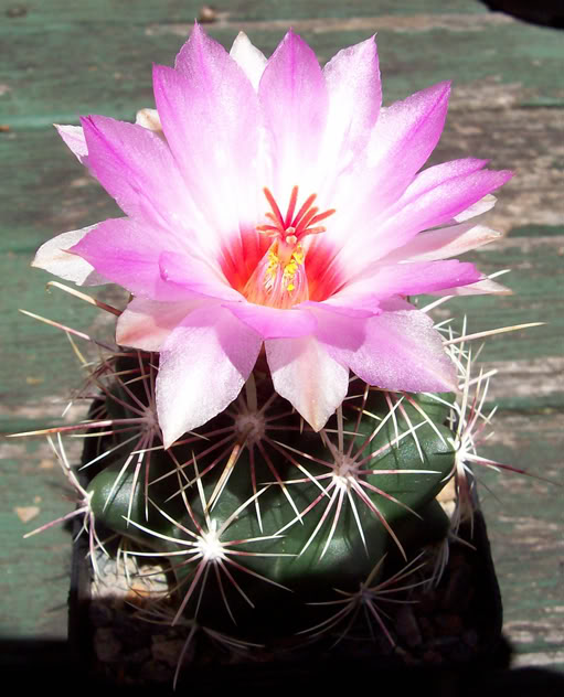 spring cacti flowers - Page 2 Thelocactusbicolorvar02