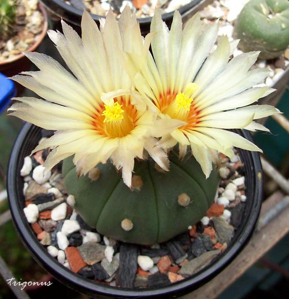 spring cacti flowers - Page 8 Aanudum