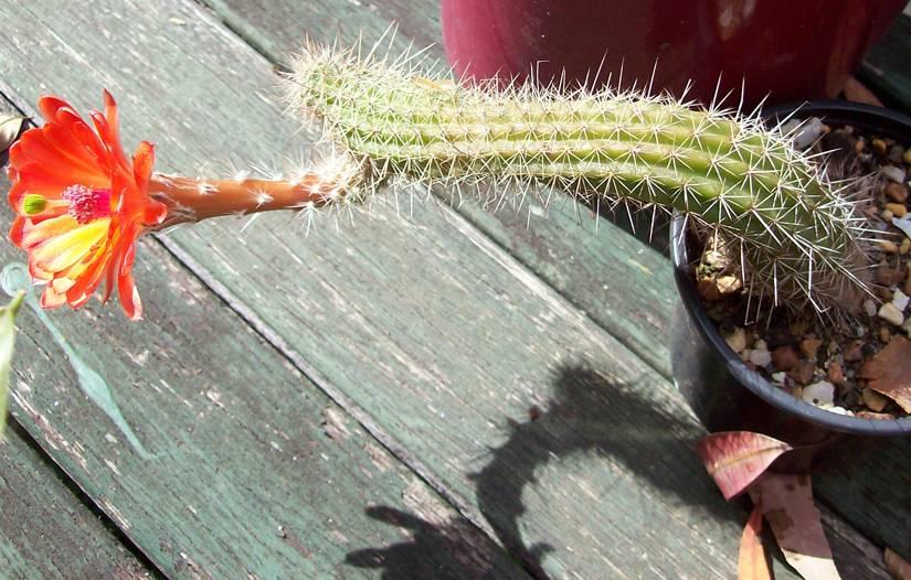 Echinocereus sp? Nice flowers... Echinocereus3