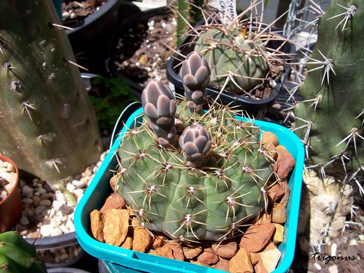 spring cacti flowers - Page 6 Gymnobuds1