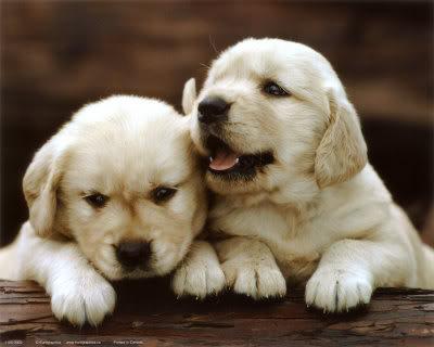 slike životinja 1155-3003Golden-Retrievers-Puppies-