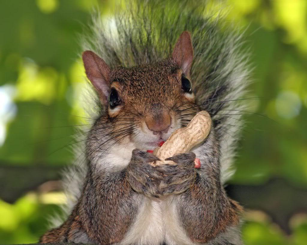 slike životinja 2006128143439Squirrel-Peanut1