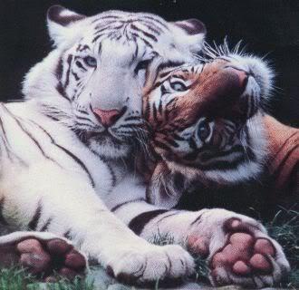 slike životinja 2_tigers