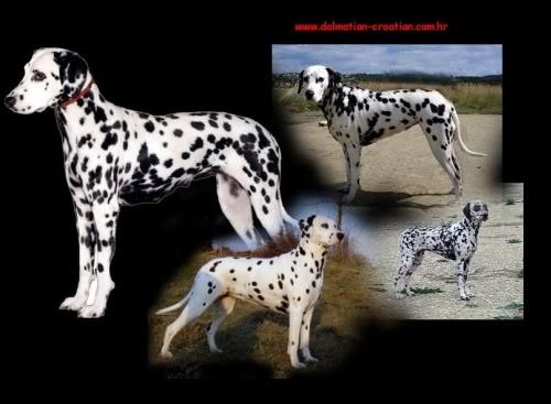 Dalmatinski pas Dalmatian