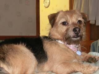 Poppy, 2 years old, Terrier mix, Fostered in South Wales. CIMG1911_zpsf85d45c0