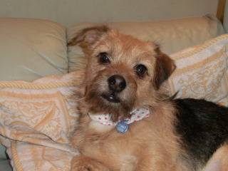 Poppy, 2 years old, Terrier mix, Fostered in South Wales. CIMG1925_zps6b89559b