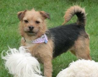 Poppy, 2 years old, Terrier mix, Fostered in South Wales. CIMG1943_zps2859d631