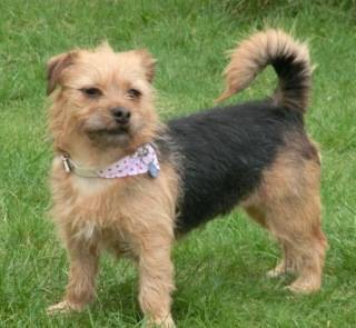 Poppy, 2 years old, Terrier mix, Fostered in South Wales. CIMG1944_zps2ecd7644