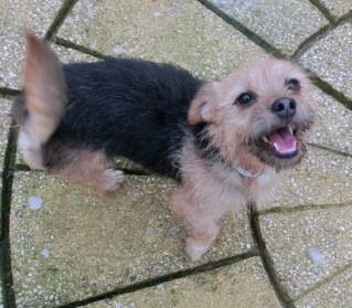 Poppy, 2 years old, Terrier mix, Fostered in South Wales. CIMG1945_zpsfb9fc1f9