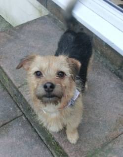Poppy, 2 years old, Terrier mix, Fostered in South Wales. CIMG1949_zps2996205f