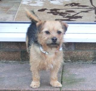 Poppy, 2 years old, Terrier mix, Fostered in South Wales. CIMG1950_zps346e21f1