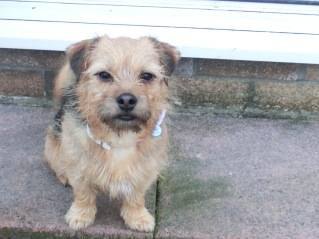 Poppy, 2 years old, Terrier mix, Fostered in South Wales. CIMG1952_zpsad704a67