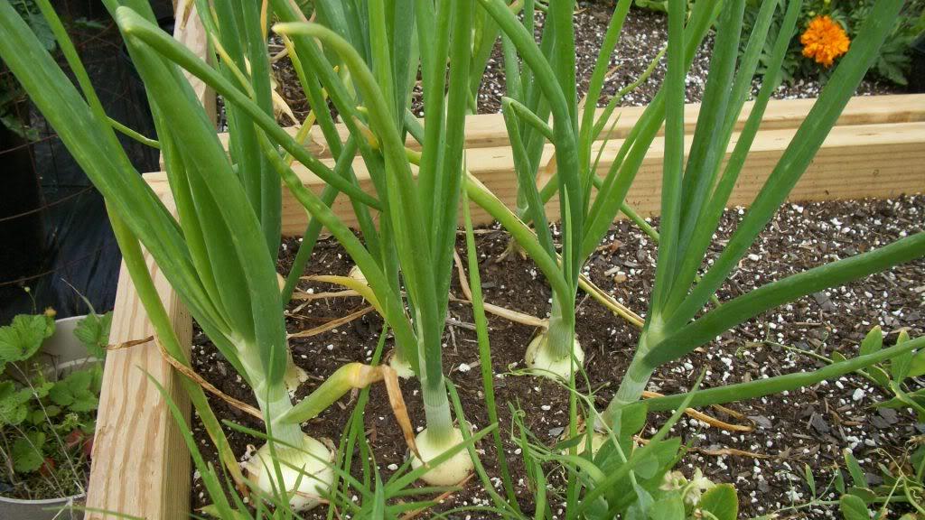 2011 Garden Pics 100_0995