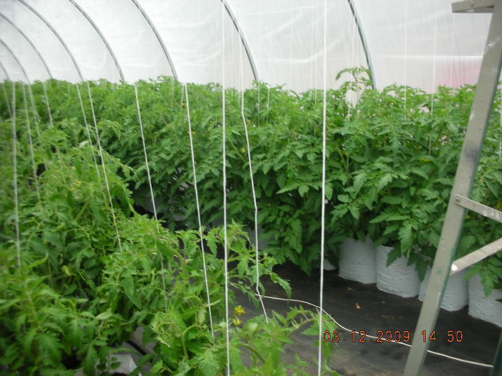 Tomato Produce Greenhouse SFG DSCN1649