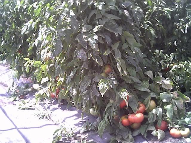 Tomato Produce Greenhouse SFG Jun20_28
