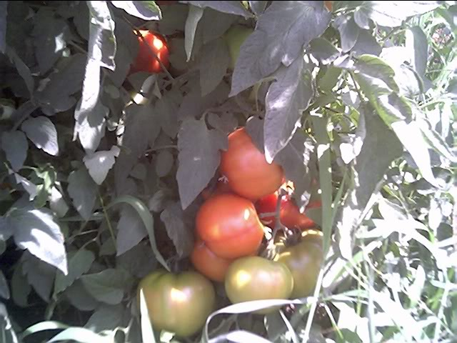 Tomato Produce Greenhouse SFG Jun20_34