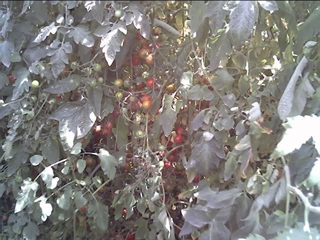 Tomato Produce Greenhouse SFG Jun20_36