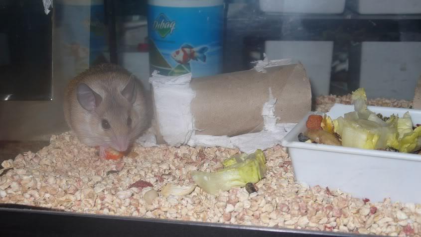 Lupita en adopción (ratón espinoso) 001-2