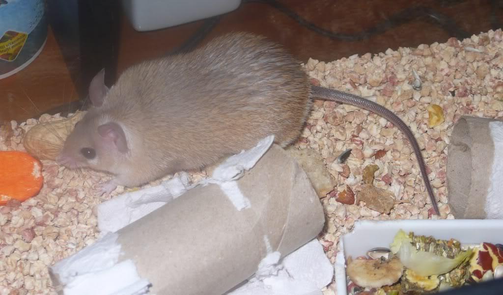 Lupita en adopción (ratón espinoso) 004-4