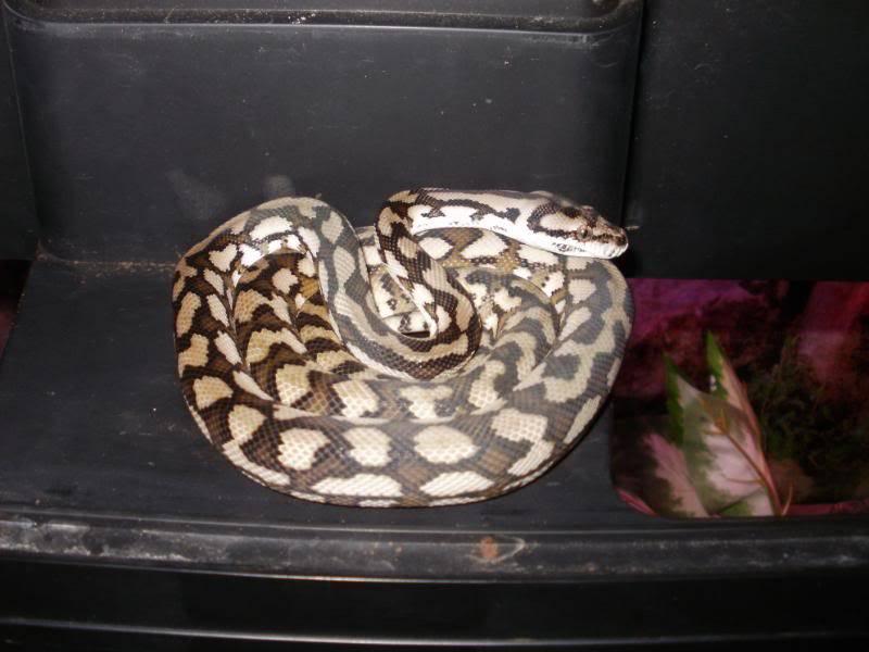 Mareeba carpet python P1050019