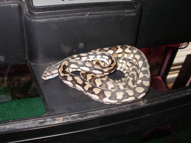 Mareeba carpet python P1050022
