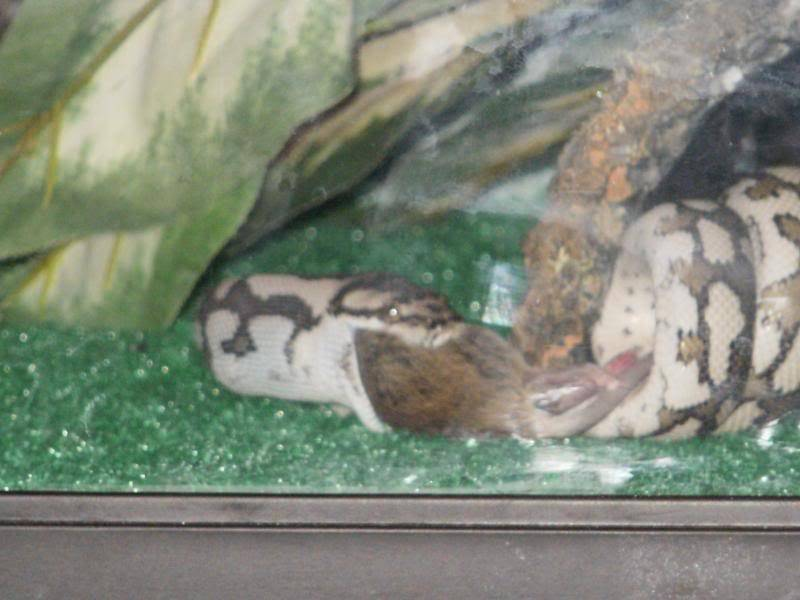 Mareeba carpet python P1080005