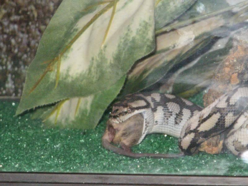 Mareeba carpet python P1080010