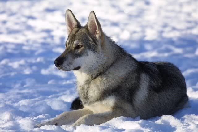 Breed: Tamaskans Tamaskan_dog