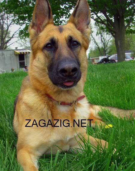 صور الكلاب وأنواعها بالأسامى , صور كلاب 1-29