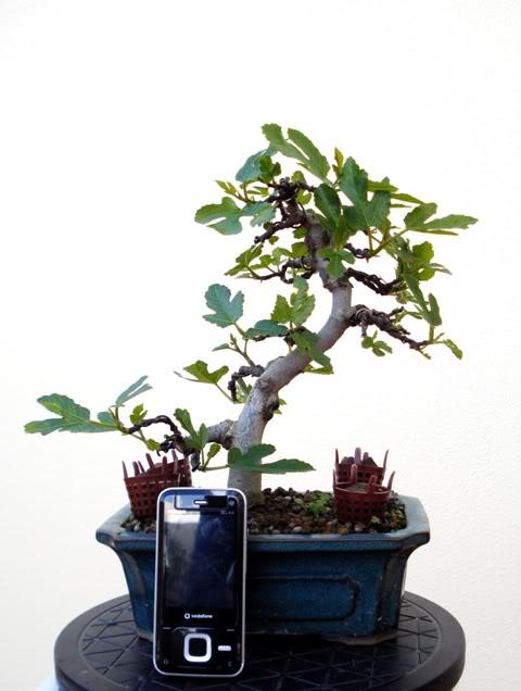 1st Post - Shohin Fig Tree (Ficus Carica) DSC01948