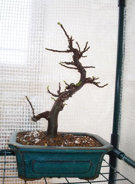 1st Post - Shohin Fig Tree (Ficus Carica) Figueira014