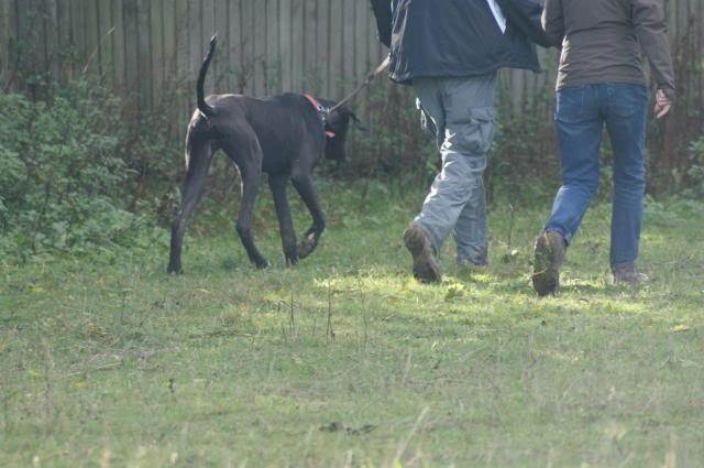 Colin ~ Great Dane - HOMED 024_zps8a8c0a60