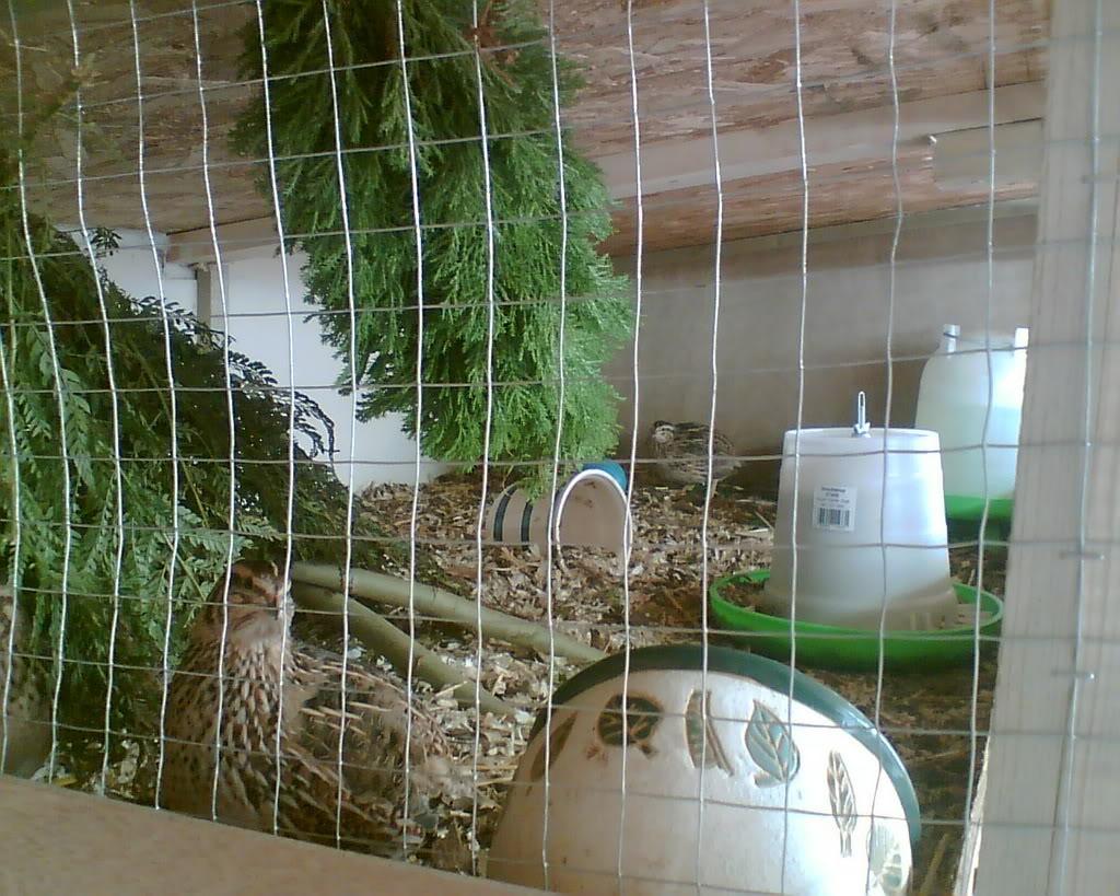 Quail Addict alert! My Set up Image009