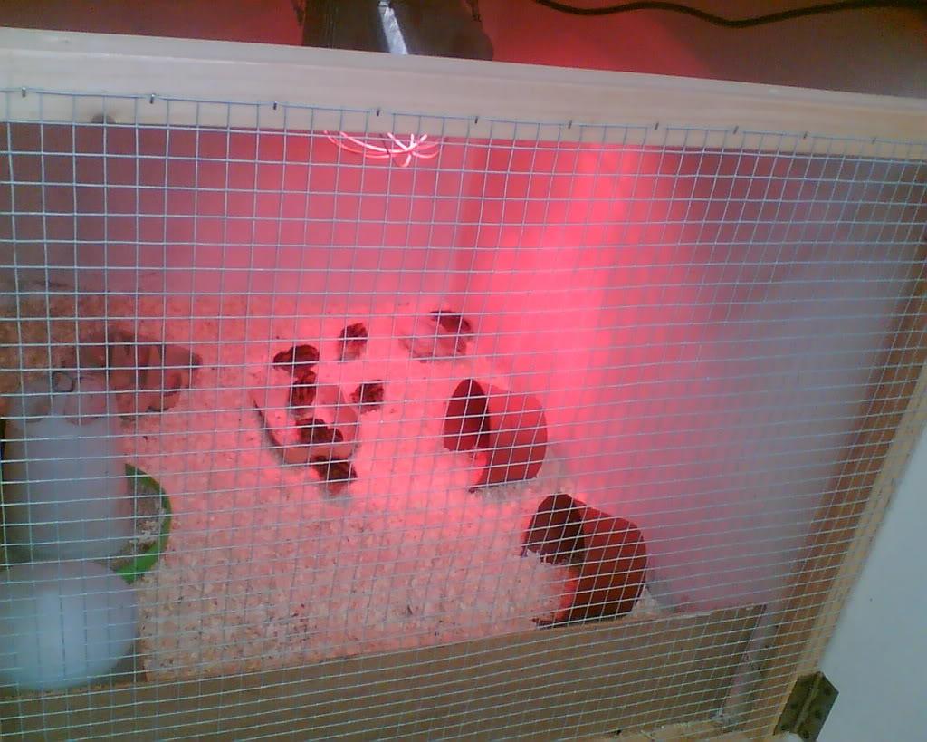 Quail Addict alert! My Set up Image011