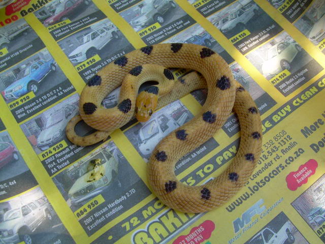 Beetz tiger snakes Male