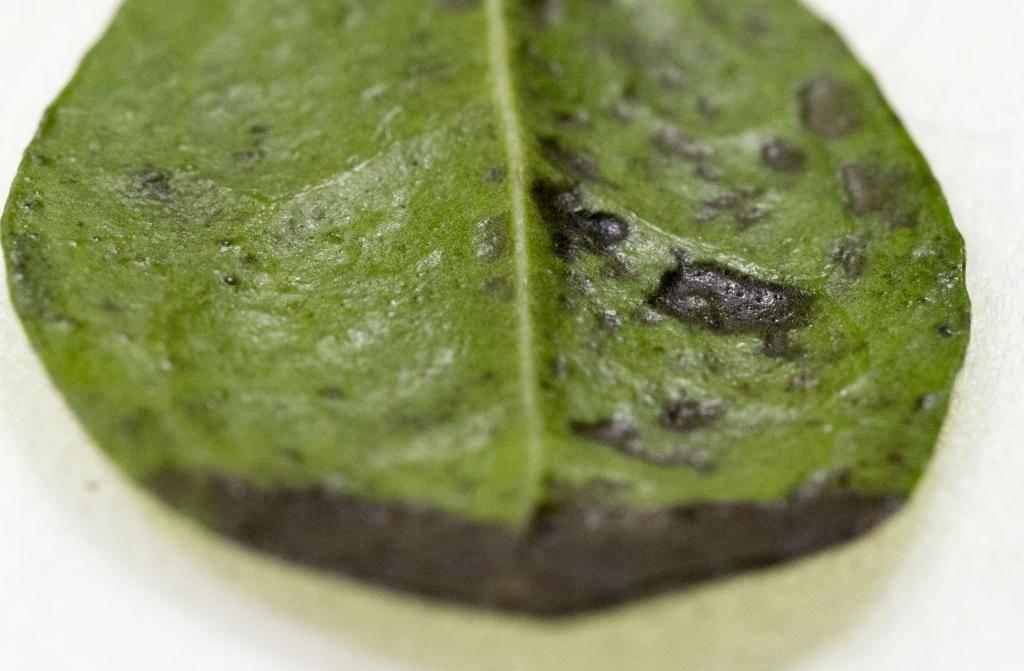 Blackened 'lava looking' leaves on Fukien Tea IMG_3433_zps9a7b0c07