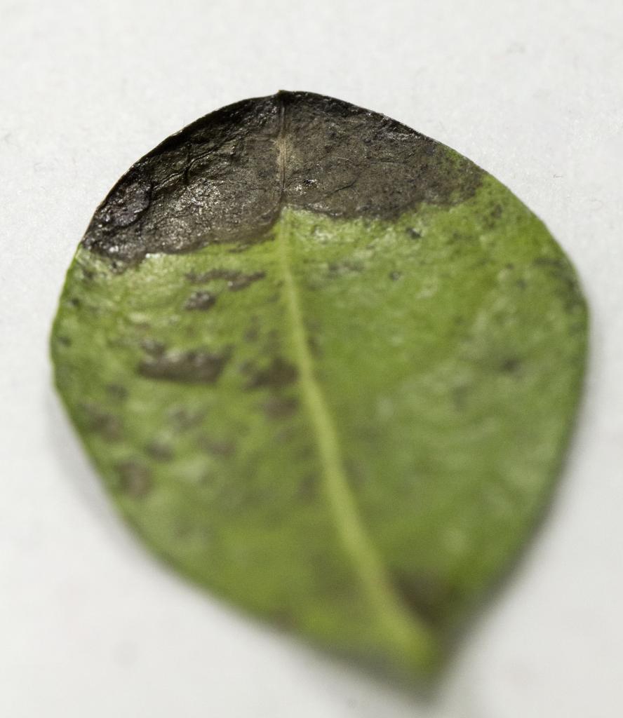 Blackened 'lava looking' leaves on Fukien Tea IMG_3451_zps7514fb61
