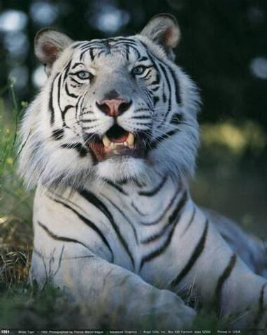 \~~~\White tiger/~~~/ 54a2