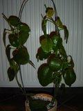 Hoya ariadna Th_DSC01102