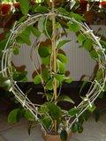 Hoya australis Th_DSC01106