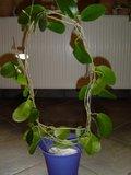 Hoya australis Th_DSC01107